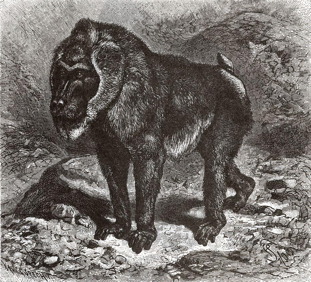 Дрил (Papio leitcophaeus)