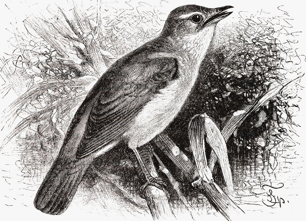 Дроздовидная камышевка (Acrocephalus arundinaceus)
