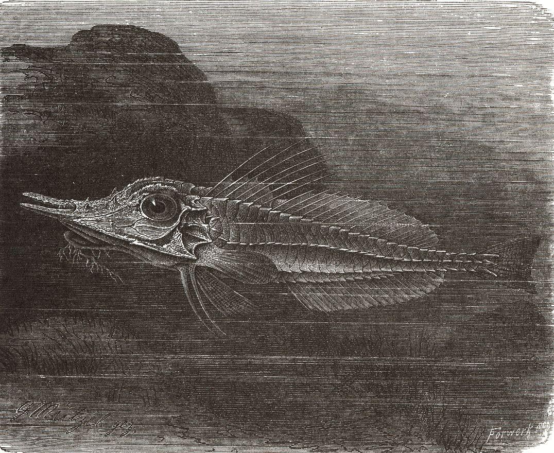 Двуносая парцириая тригла, или вооруженный морской петух (Peristedion cataphractum)