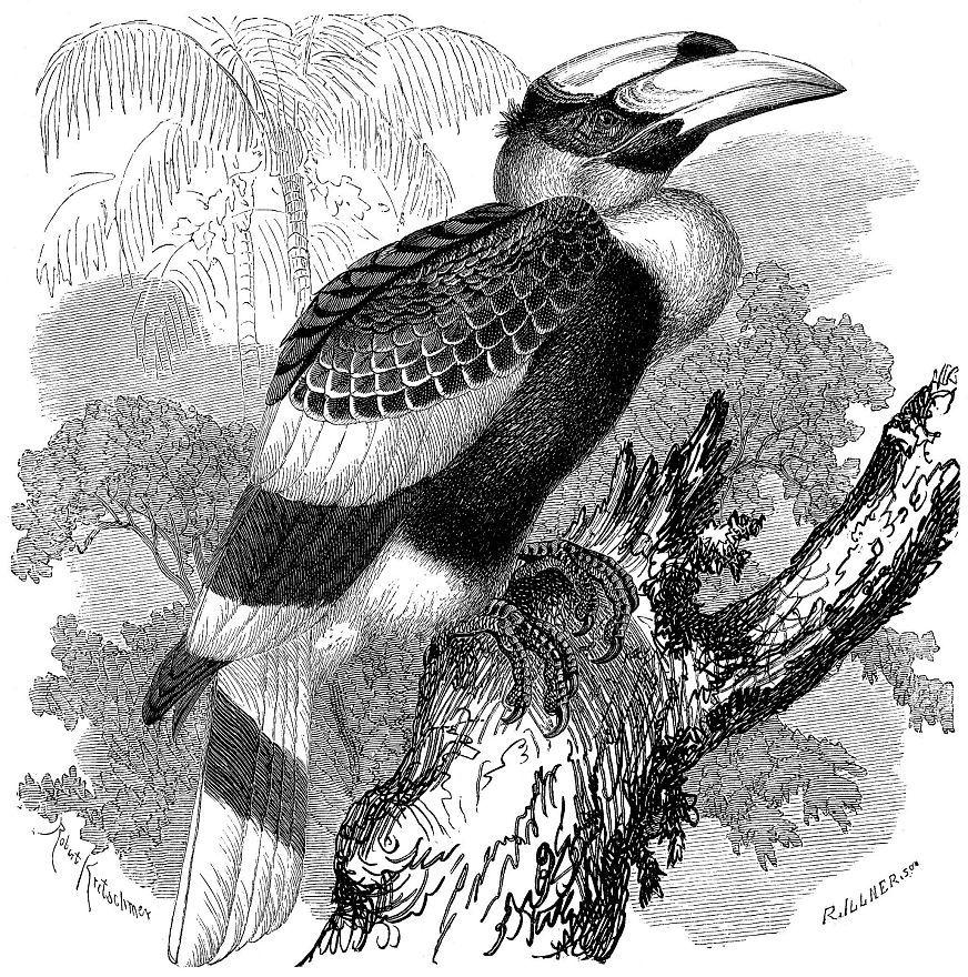 Двурогий, или большой индийски, калао (Buceros bicornis)