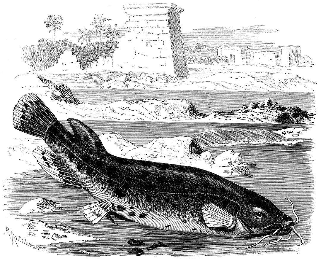 Электрический сом (Malapterurus electricus)