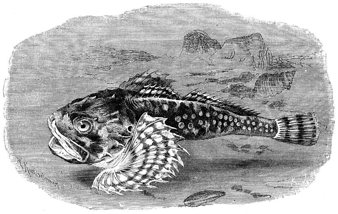 Европейский керчак (Myoxocephalus scorpius)