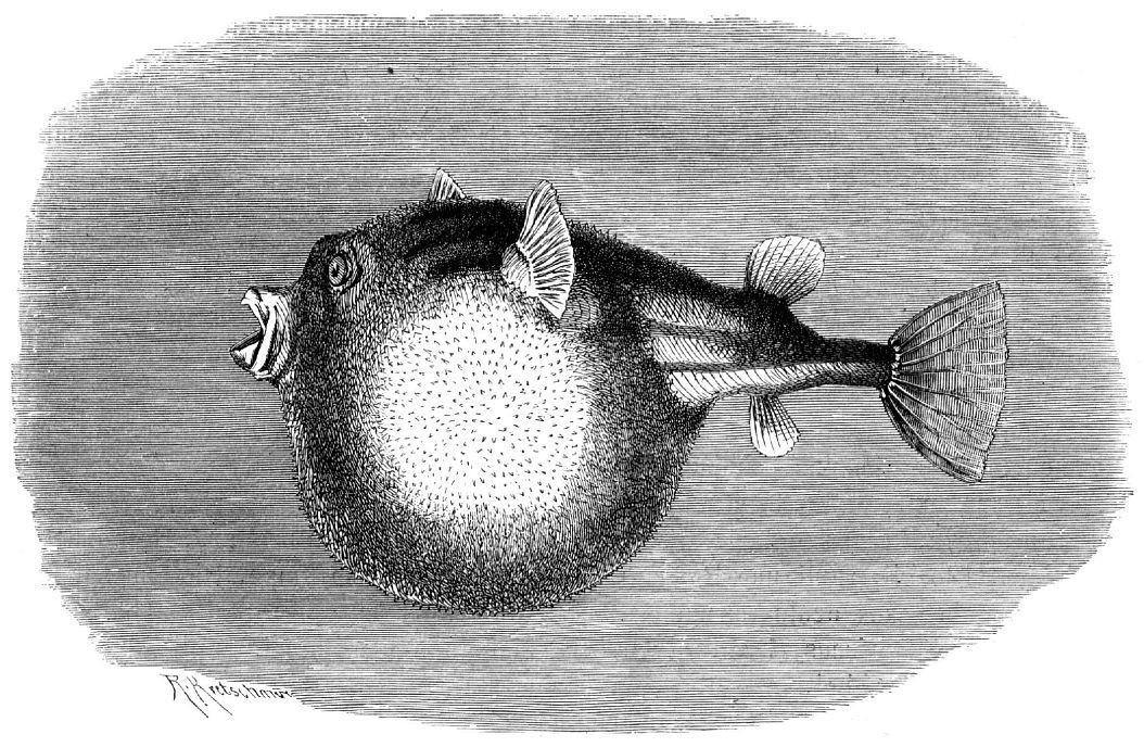 Фахак (Tetraodon fahaka)
