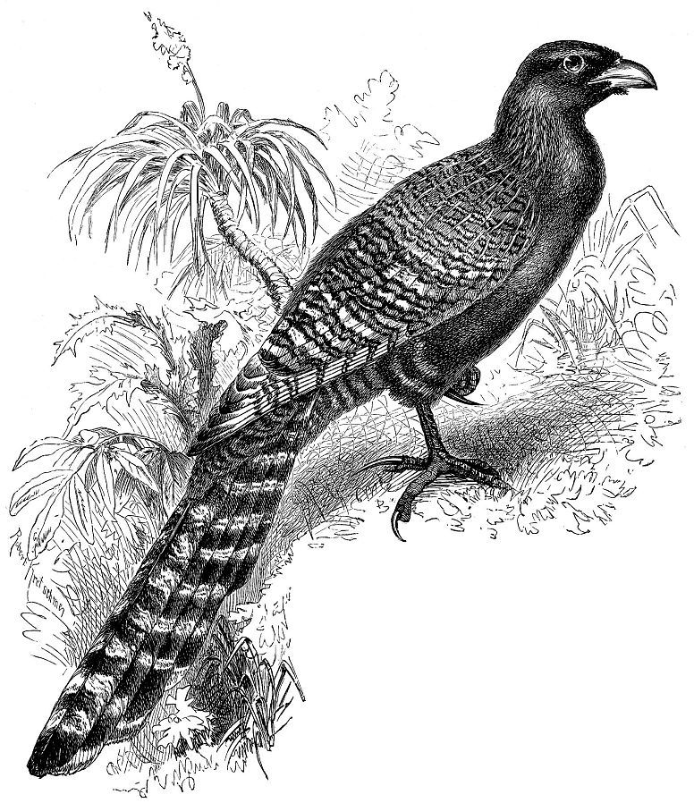Фазанья шпорцевая кукушка (Centropus phasianus)