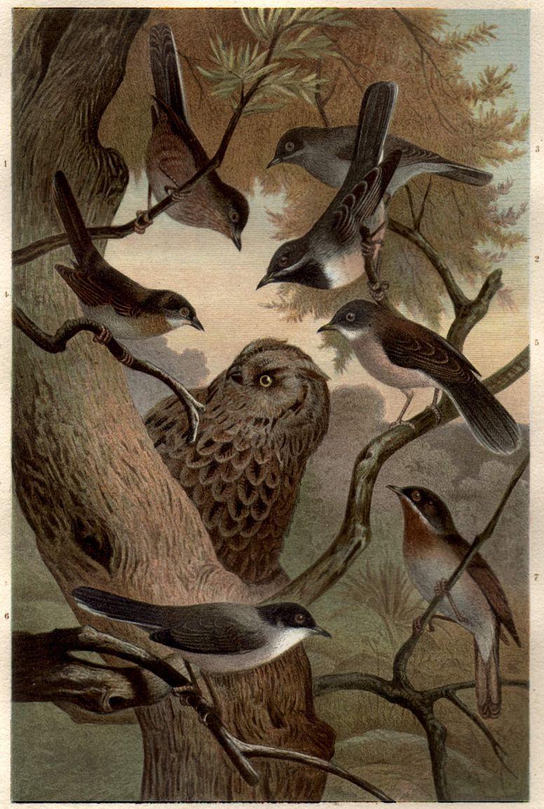 Филин (Bubo bubo), атакуемый мелкими певчими птицами днем.