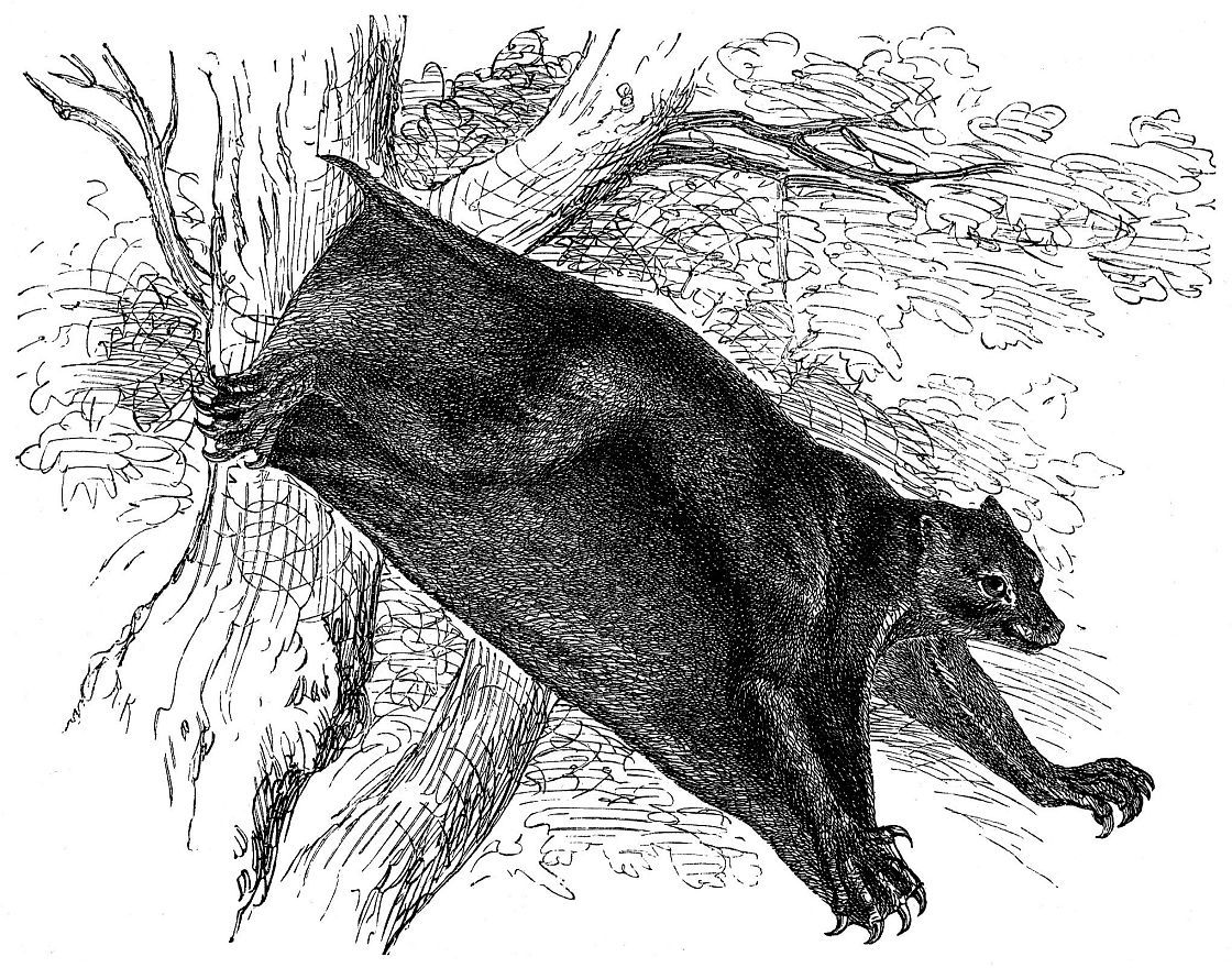 Филиппинский шерстокрыл (Cynocephalus volans)