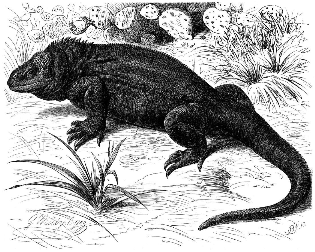 Галапагосский конолоф (Conolophus subcristatus)