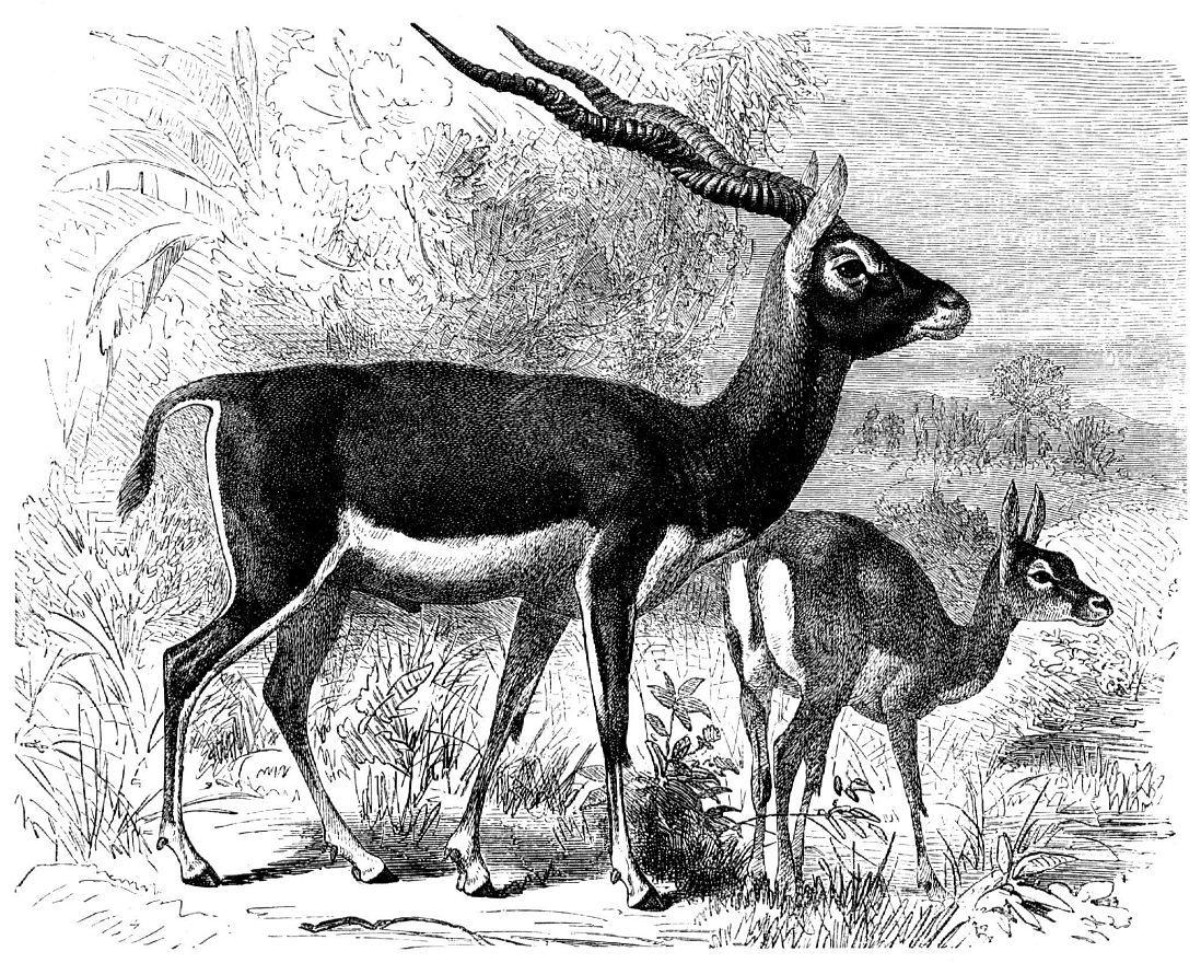 Гарна (Antilоре cervicapra)
