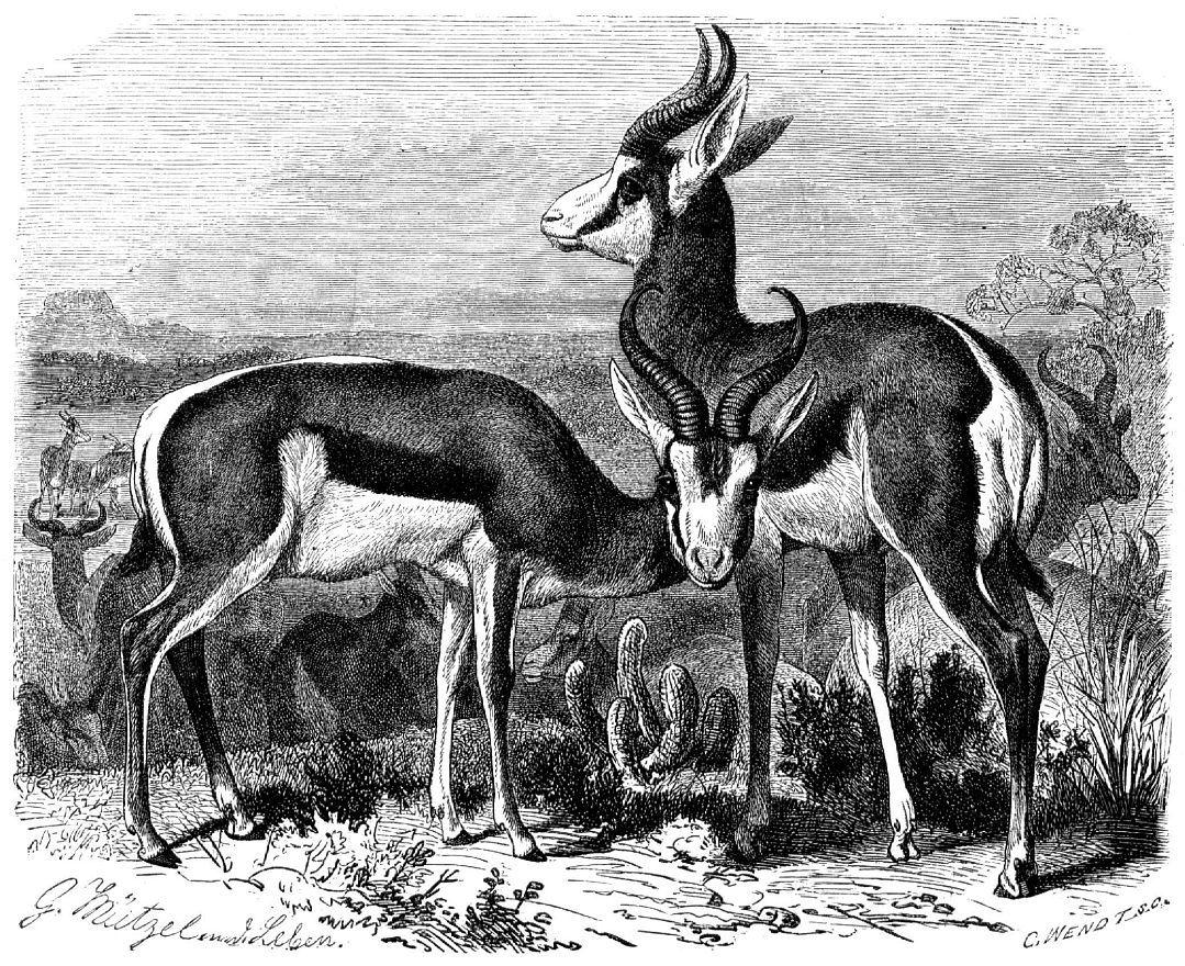 Газель-прыгун, или спрингбок (Antidorcas marsupialis)