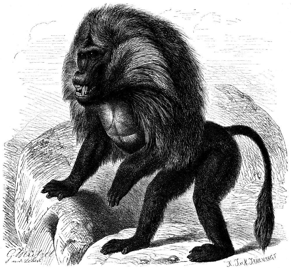 Гелада (Theropithecits gelada)