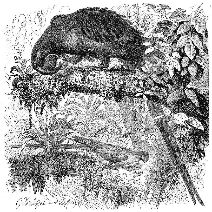 Гиацинтовый ара (Anodorhynchus hyacinthinus)