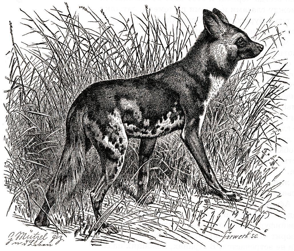 Гиеновая собака (Lycaon р ictus)