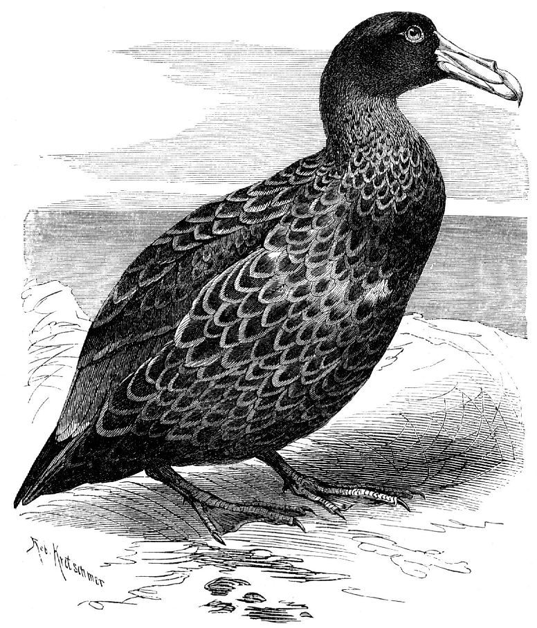Гигантский буревестник (Macronectes giganteus)