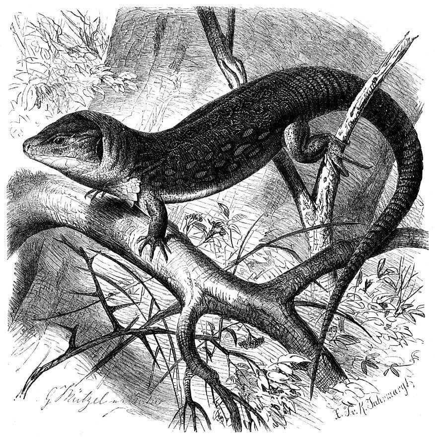 Глазчатая ящерица (Lacerta lepida)