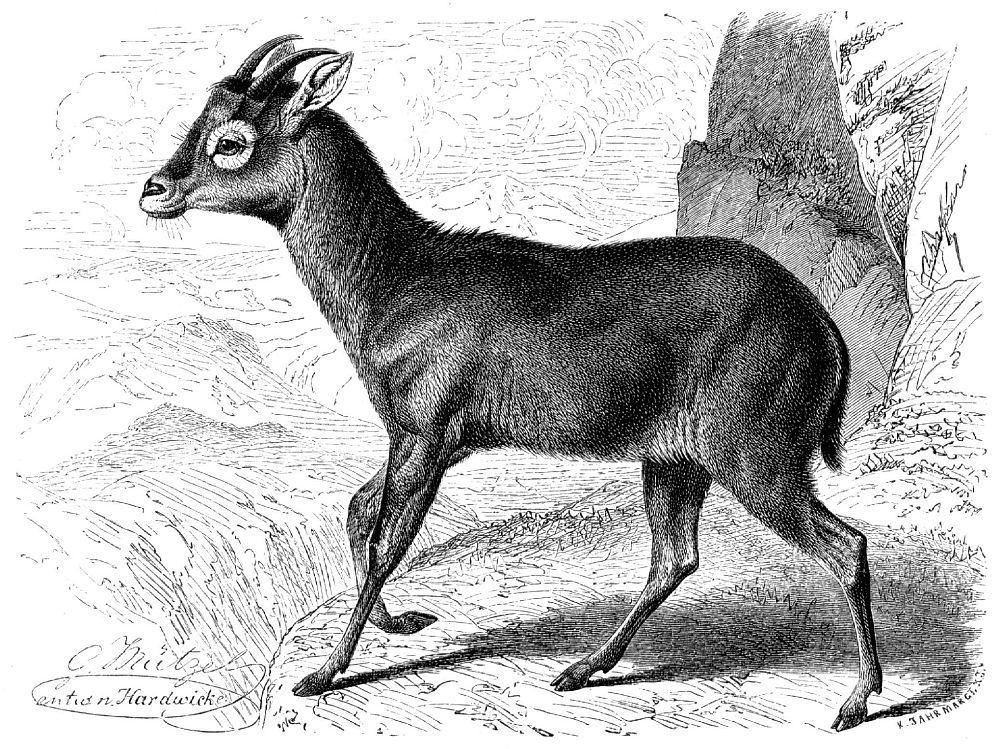 Горал (Nemorhaedits goral)