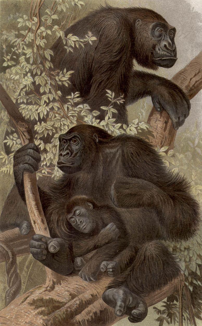 Горилла (Gorilla gorilla)
