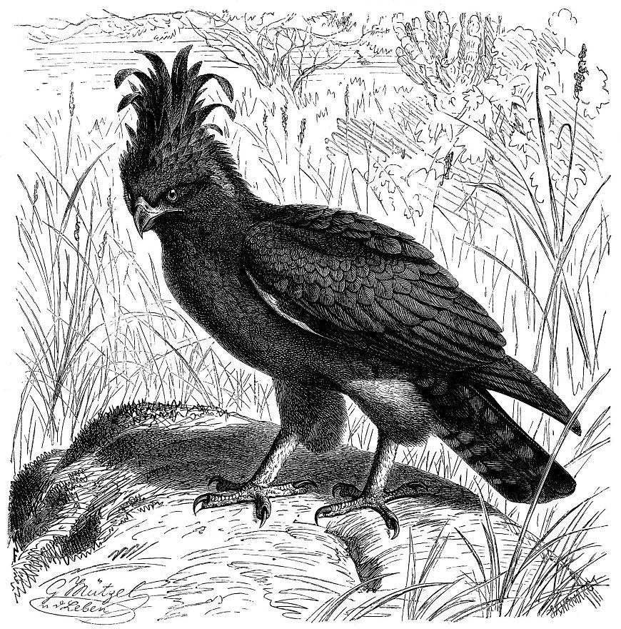 Гребенчатый орел (Lophaetus occipitalis)