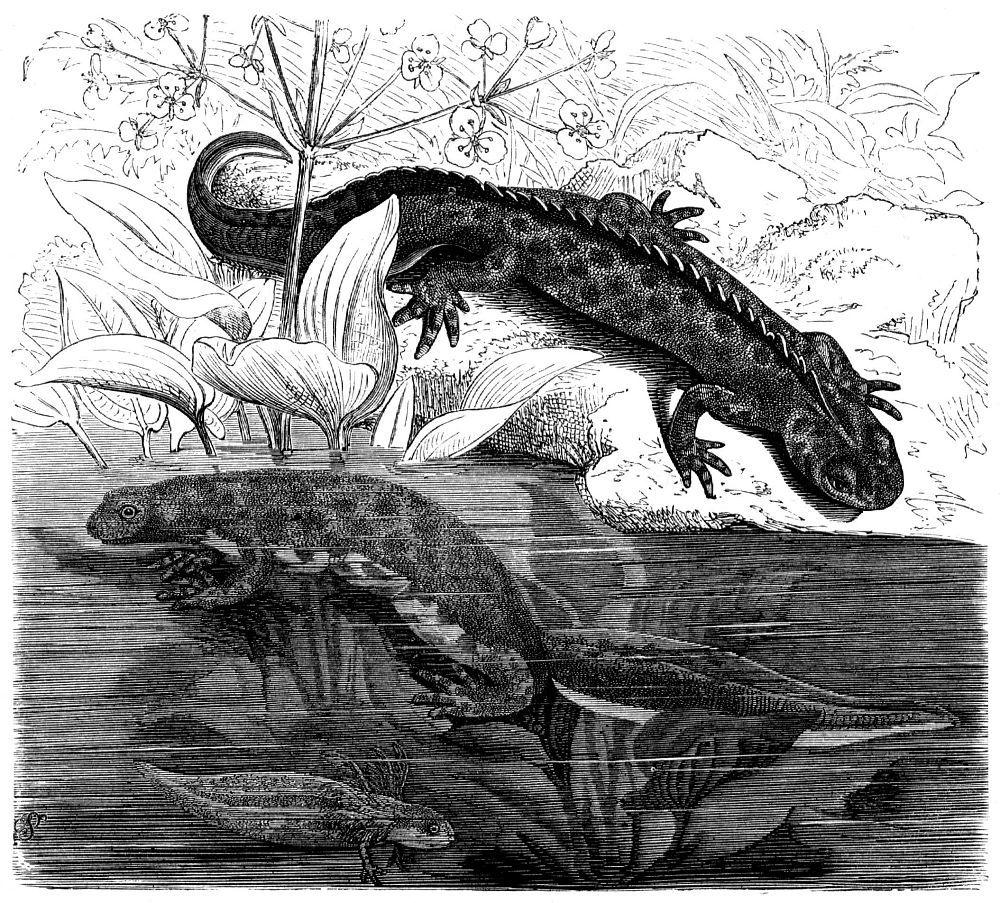 Гребенчатый тритон (Triturus cristataus)