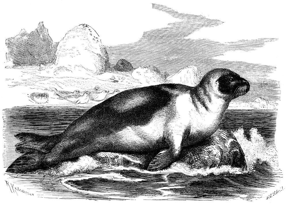 Гренландский тюлень, или лысун (Pagophilus groenlandica)