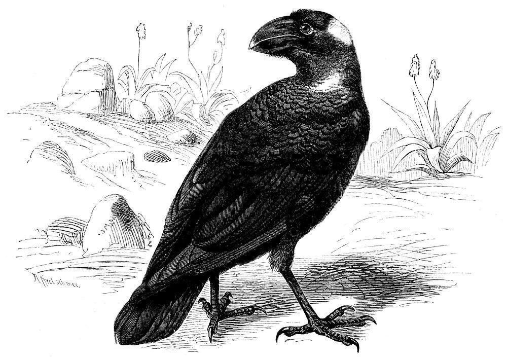 Грифовая ворона (Corviis crassirostris)