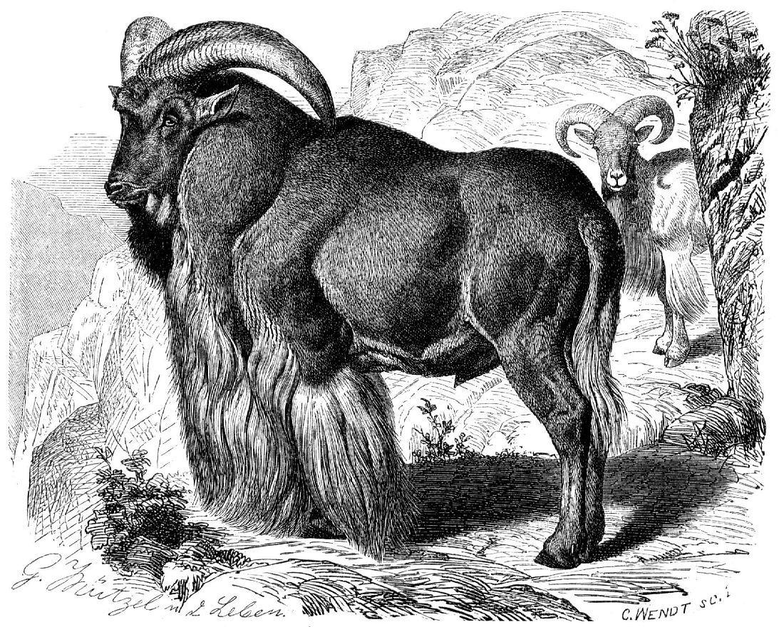 Гривистый баран (Ammotragus lervto)