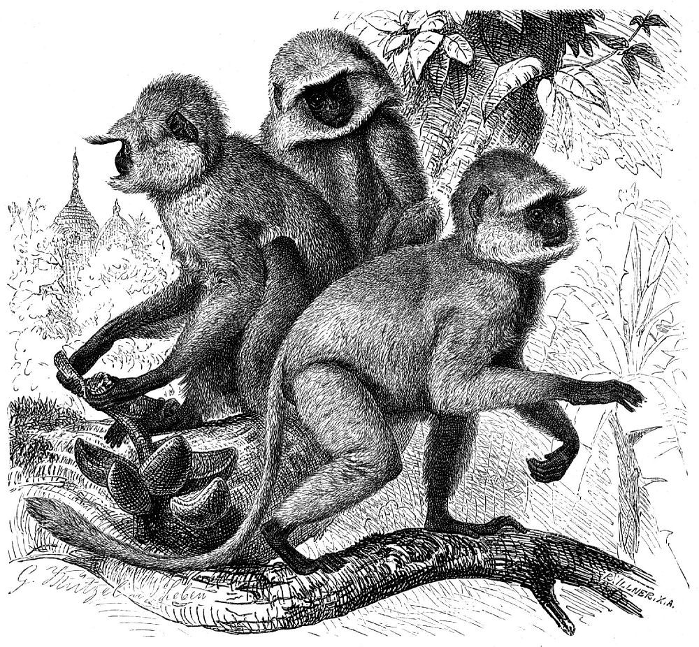 Гульман, лангур или хануман (Semnopithecus entellus)
