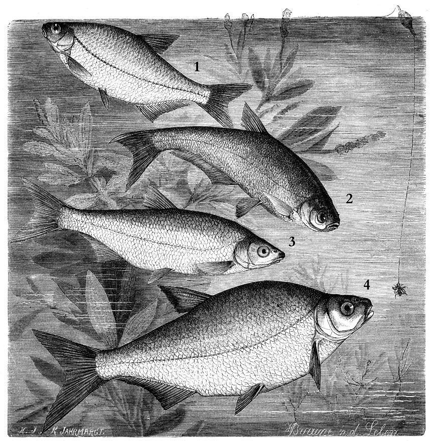 1 - Густера (Blicca bjoerkna) 2 - Синец (Abramis ballerus) 3 - Сырть, или рыбец (Vimba vimba) 4 - Лещ (Abramis brama)