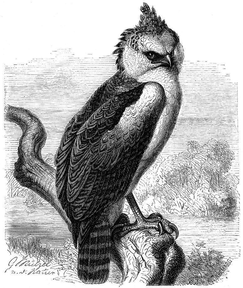 Гвианская гарпия (Morphnus guianensis)