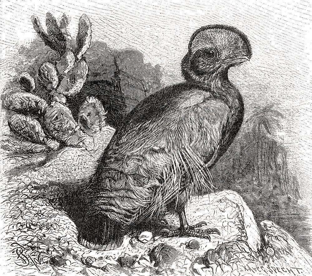 Гвианский скальный петушок (Rupicola rupicola)