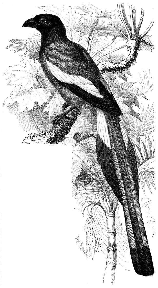 Индийская древесная сорока (Dendrocitta vagabunda)