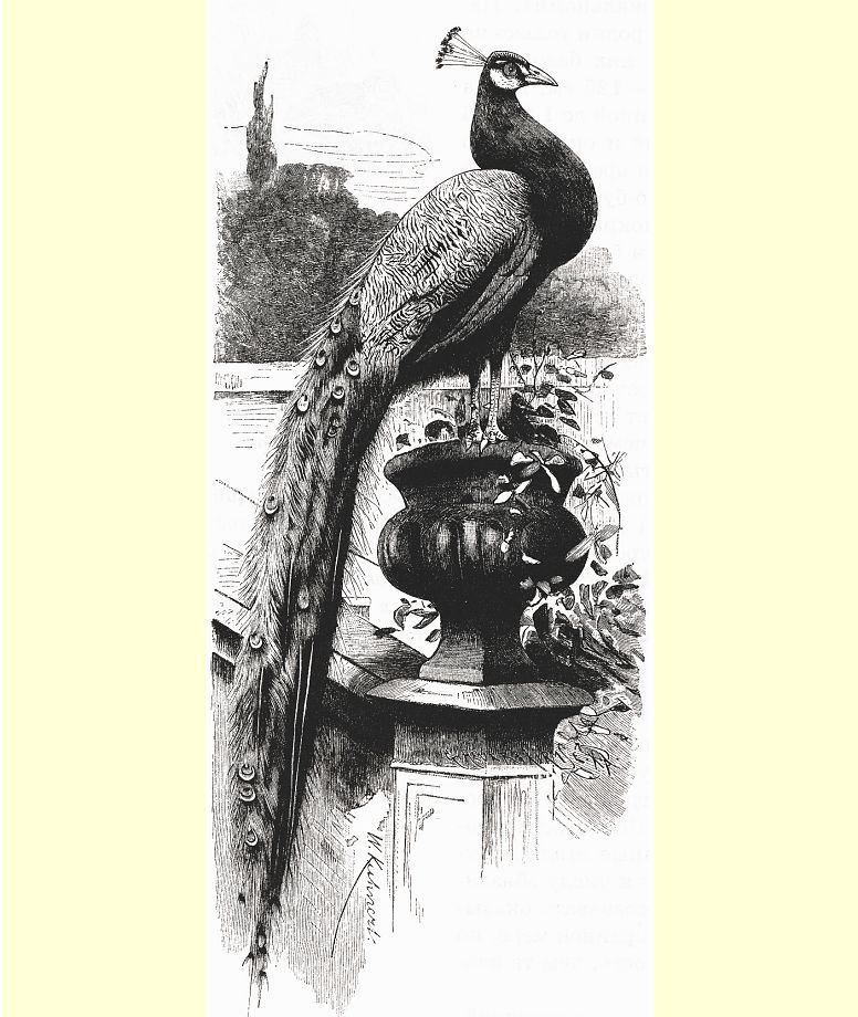 Индийский, или хохлатый, павлин (Pavo cristatus)