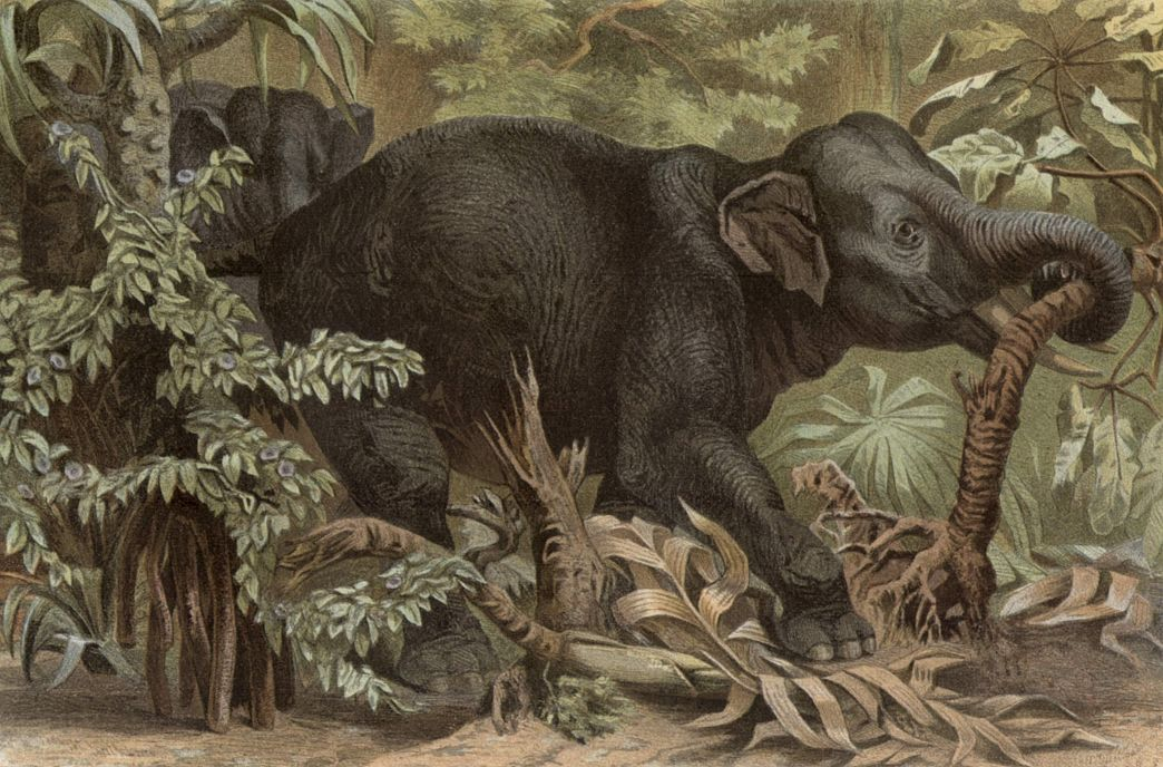 Индийский слон (Elephas maximus)