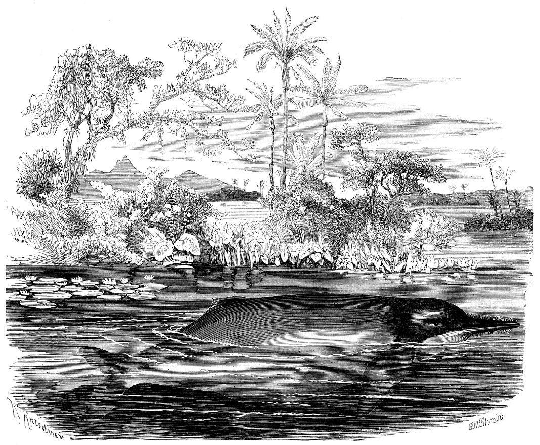 Иния, или амазонский дельфин (Inia geoffrensis)