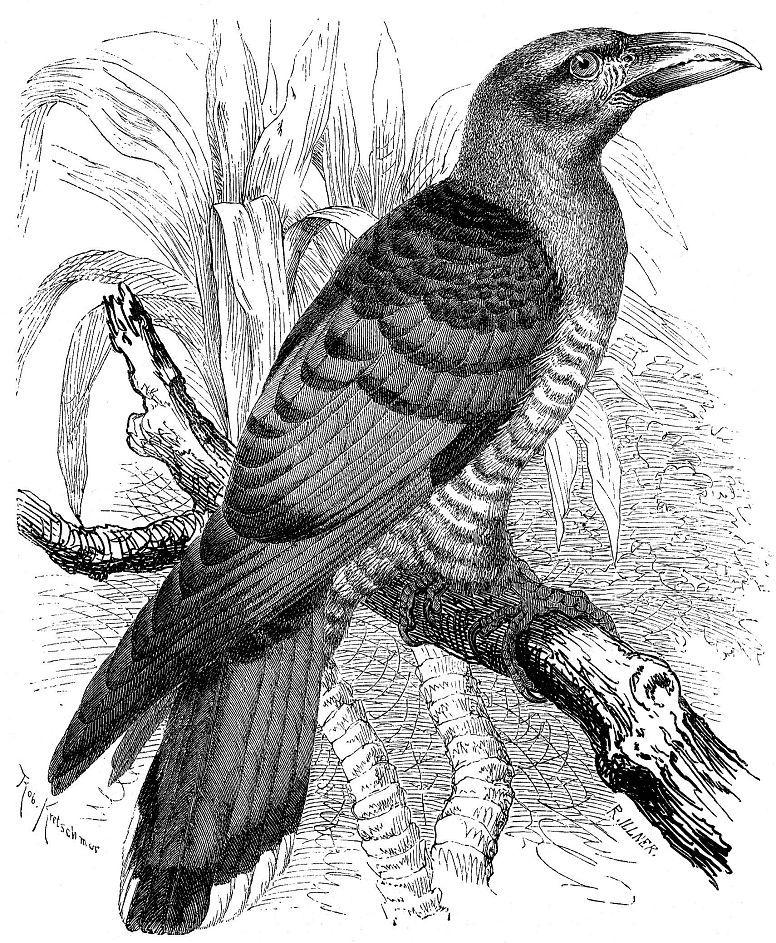 Исполинская кукушка (Scythrops novaehollandiae)