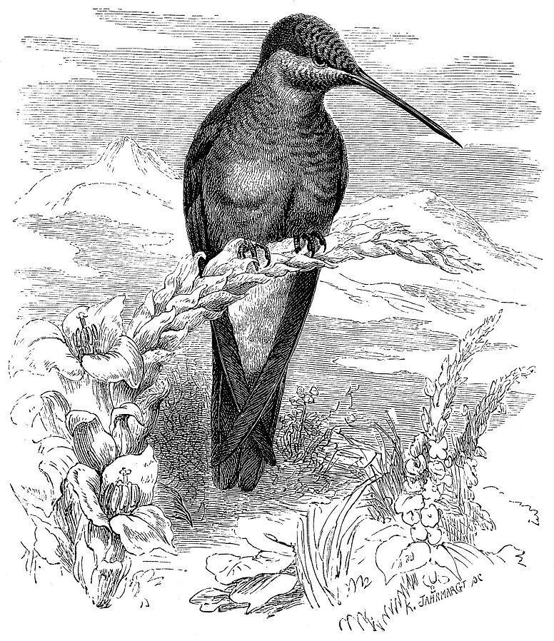 Исполинский колибри (Patagona gigas)