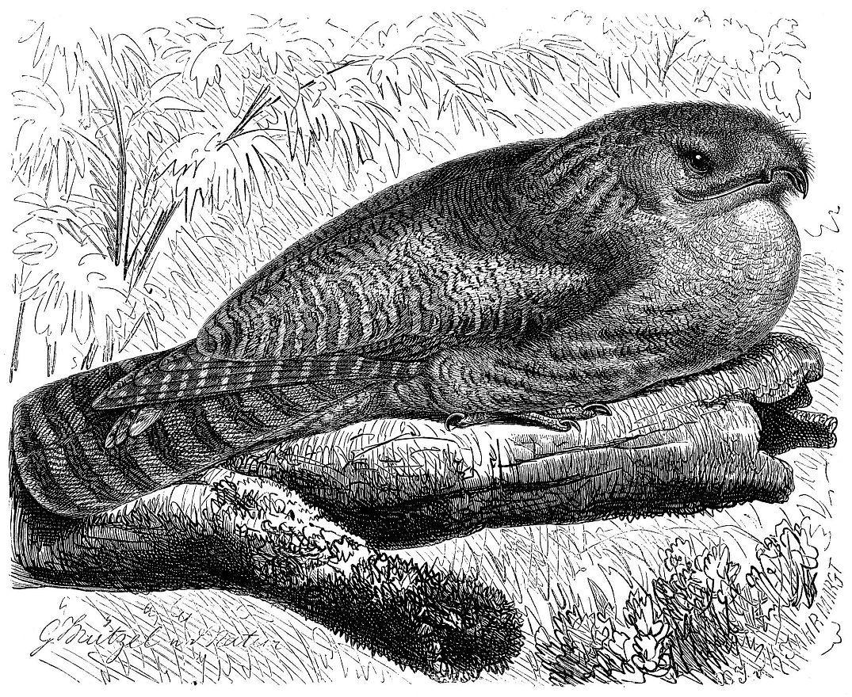 Исполинский лесной козодой (Nyctihius grandis)