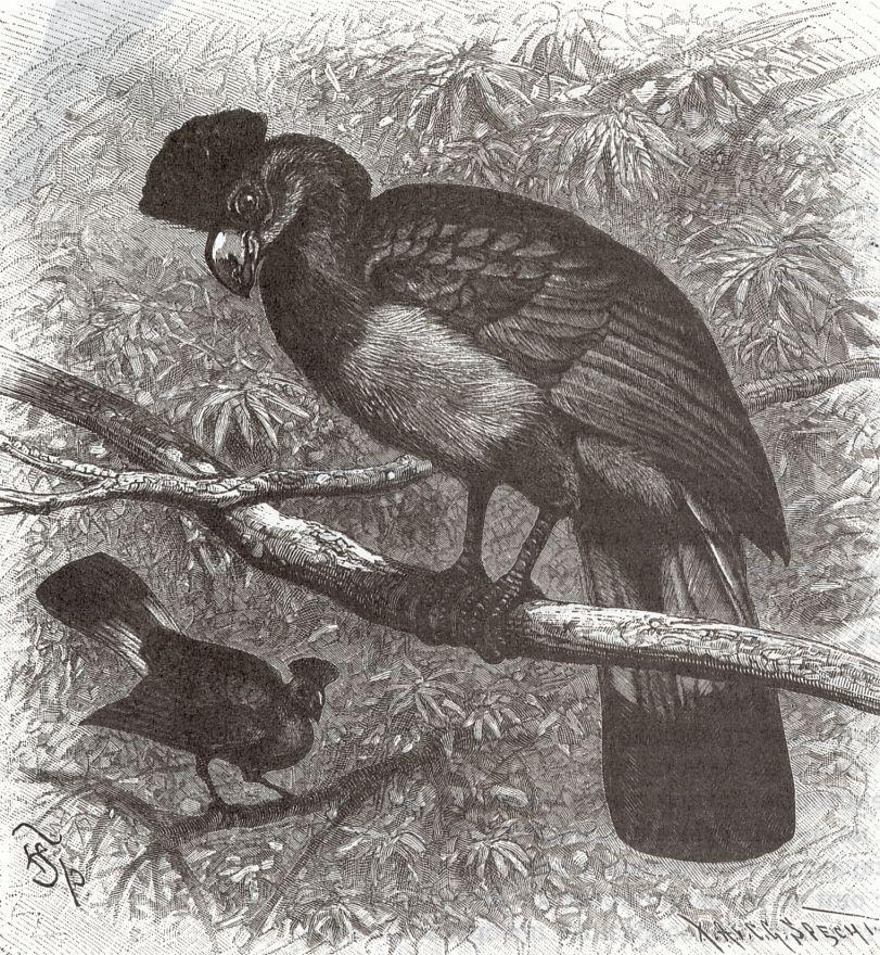 Исполинский турако (Coiythaeola cristata)