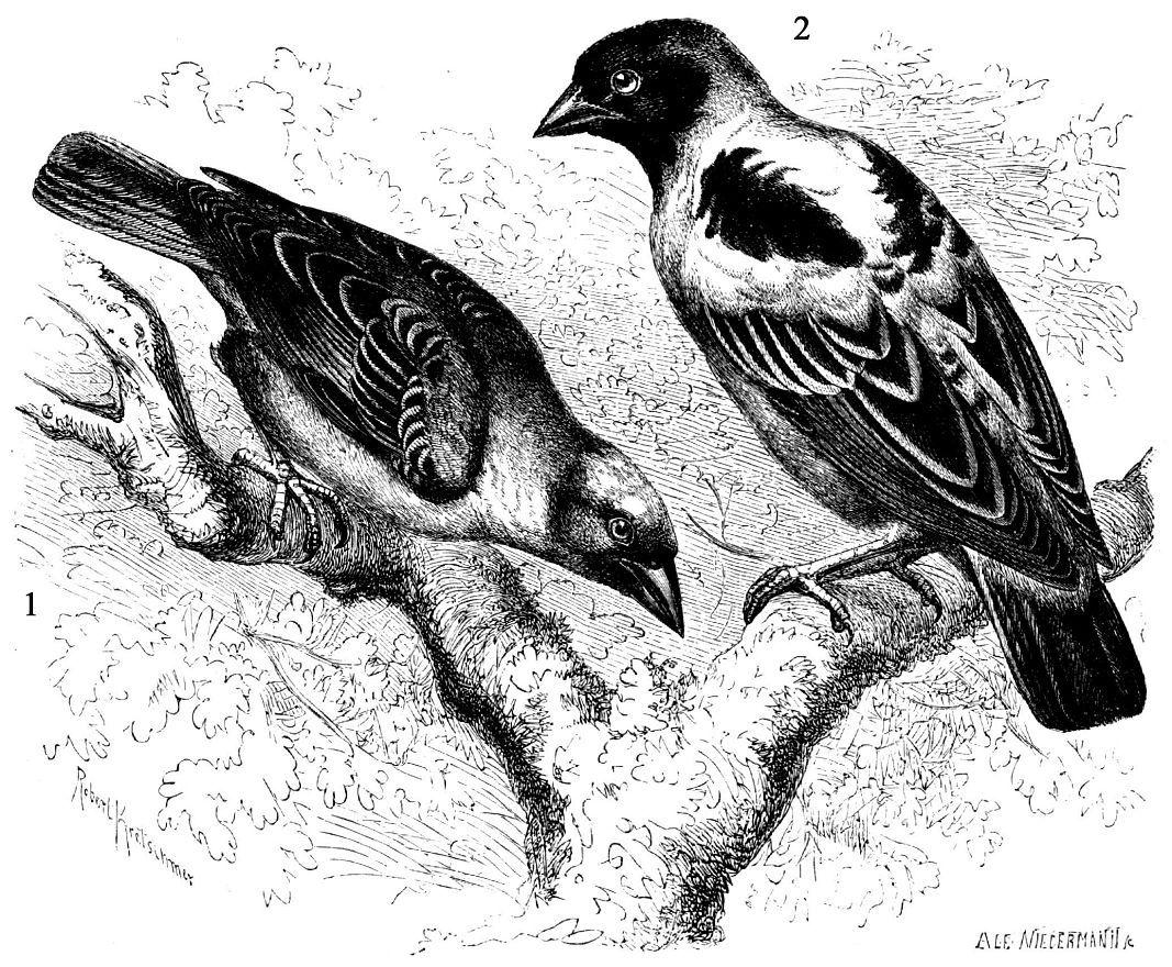 1 - Иволгоеый ткач (Ploceits galbula) 2 - Чернолобый ткач (Ploceits velatus)