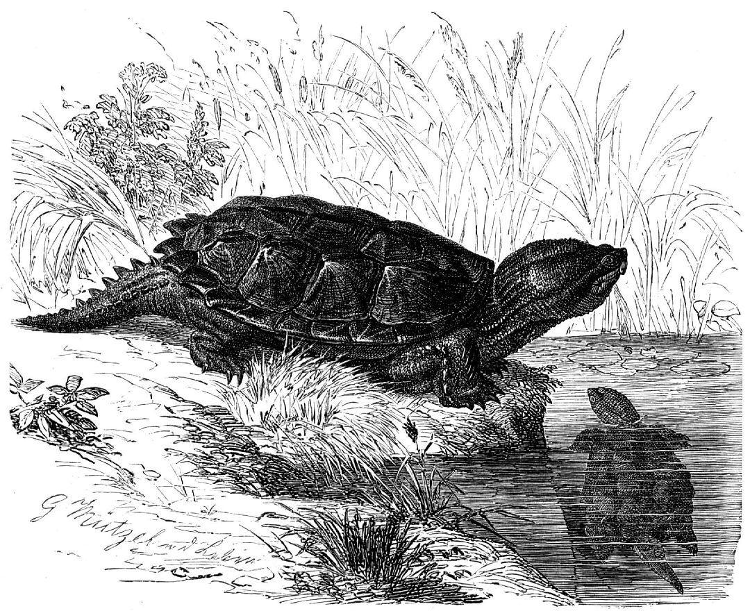 Каймановая, или кусающаяся, черепаха (Chelydra serpentina)