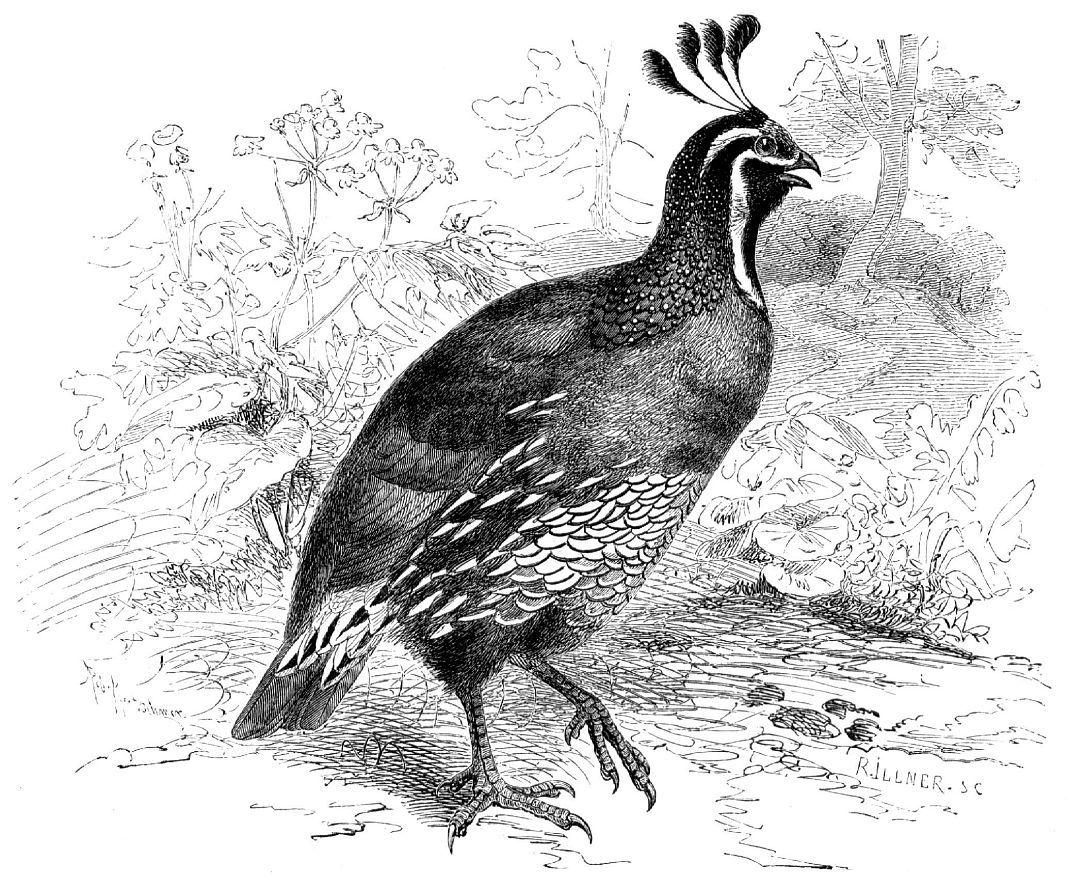 Калифорнийский хохлатый перепел (Lophortyx californica)