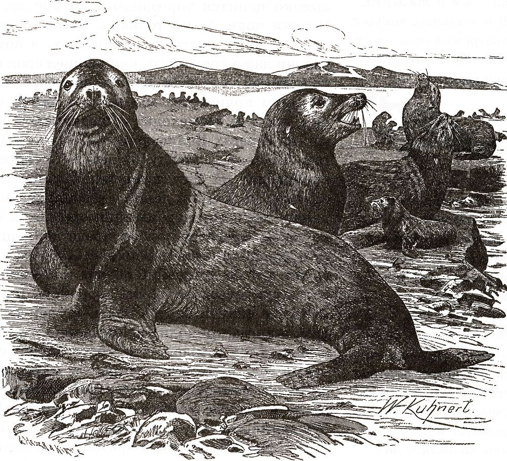 Калифорнийский морской лев (Zalophus californianus)