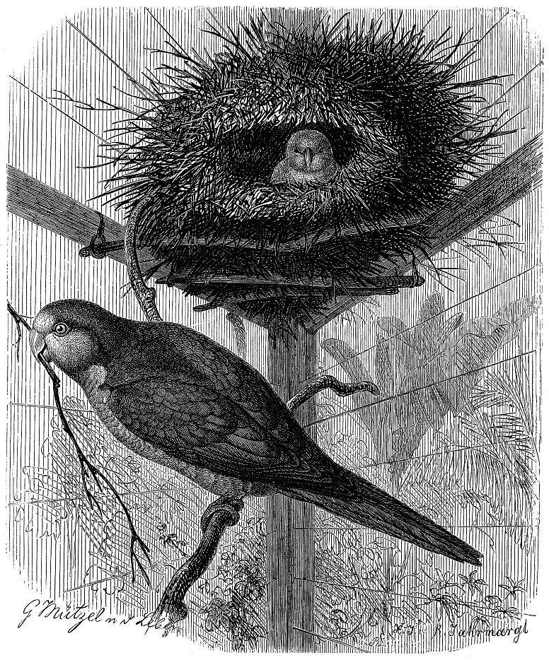 Калита (Myiopsitta monachus)