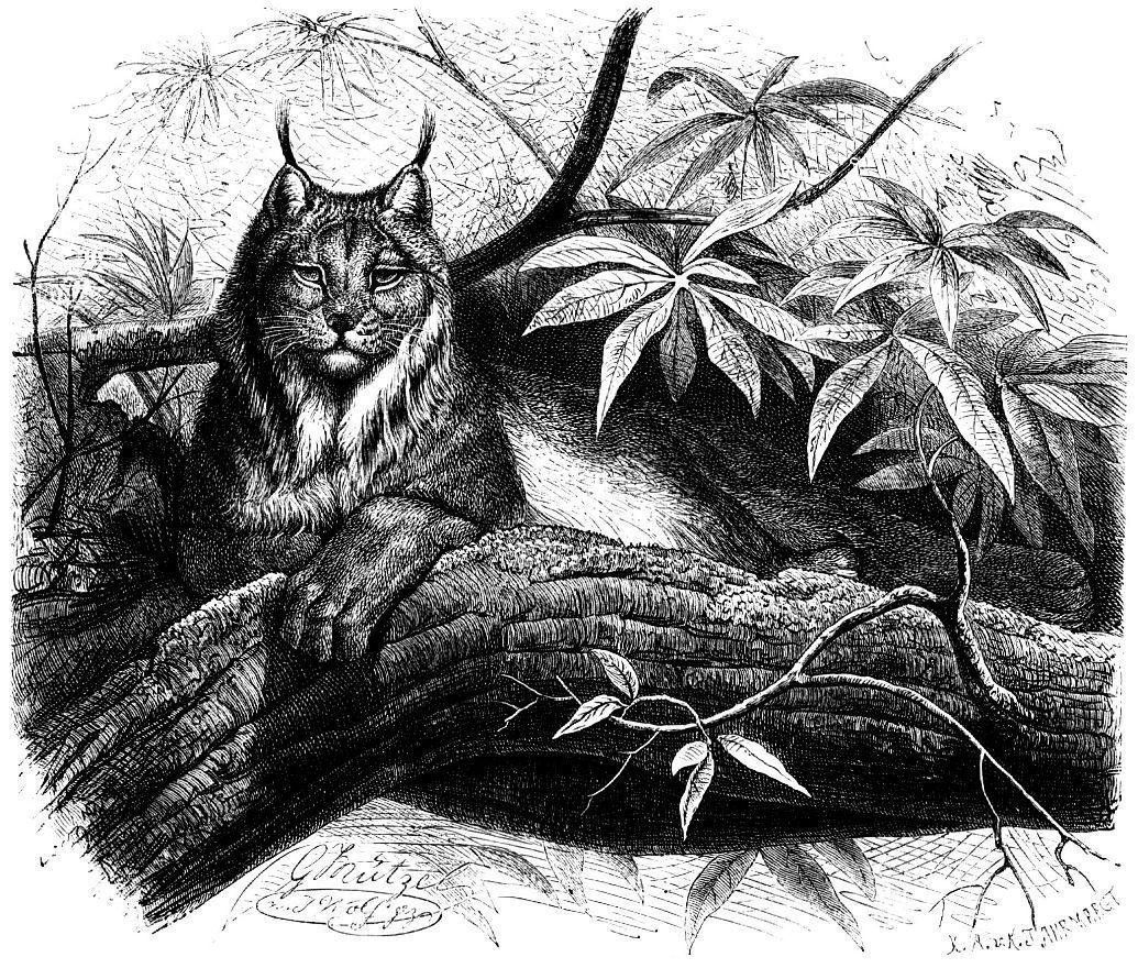Канадская рысь (Lunx canadensis )