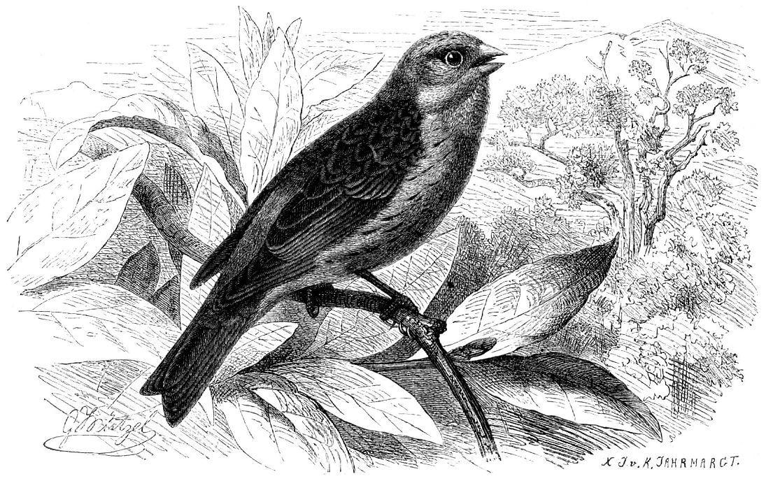 Канарейка (Serinus canaria)