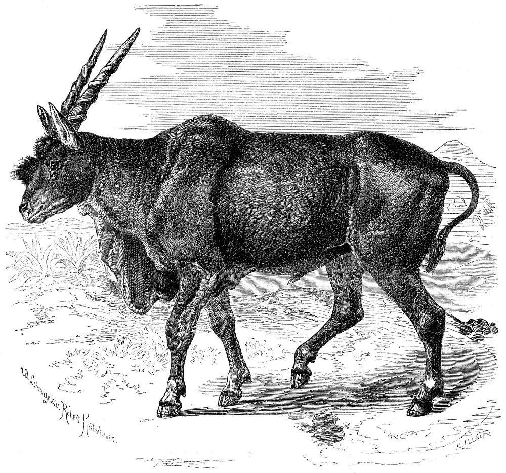 Канна (Taurotragus oryx)