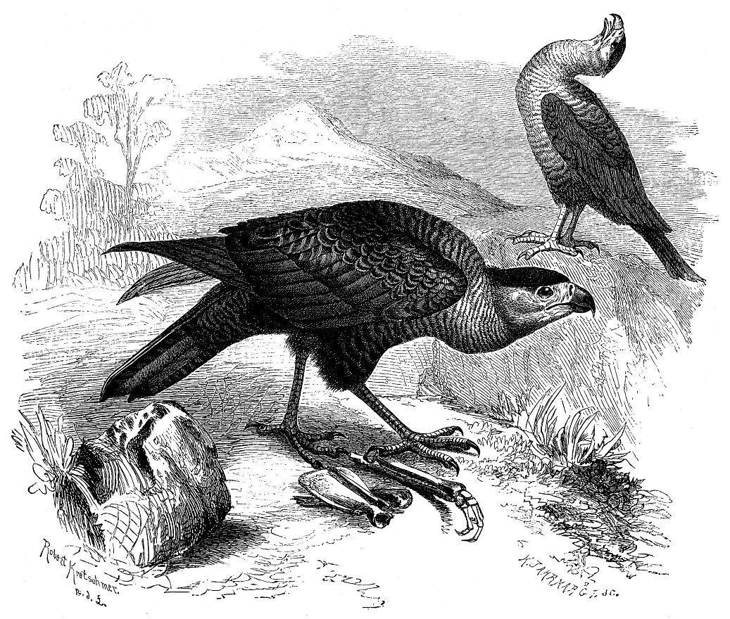 Каракара (Poly bonis plancus)