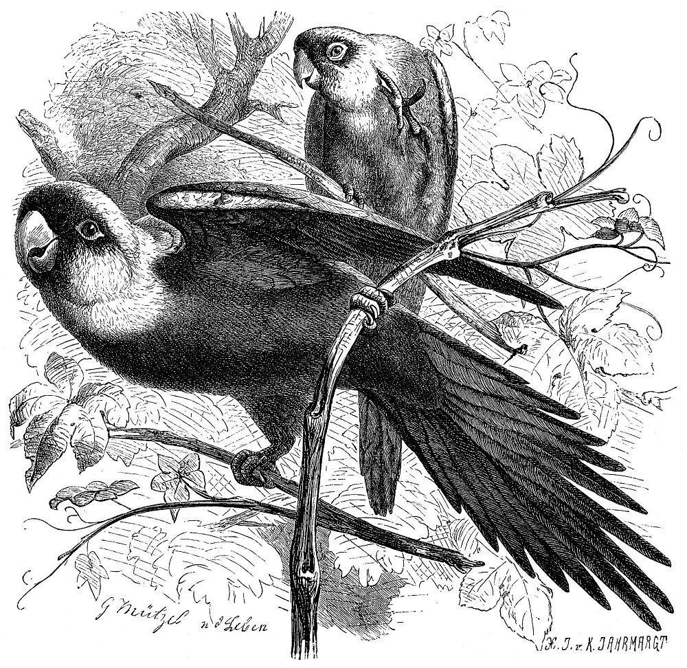 Каролинский попугай (Conuropsis carolinensis)