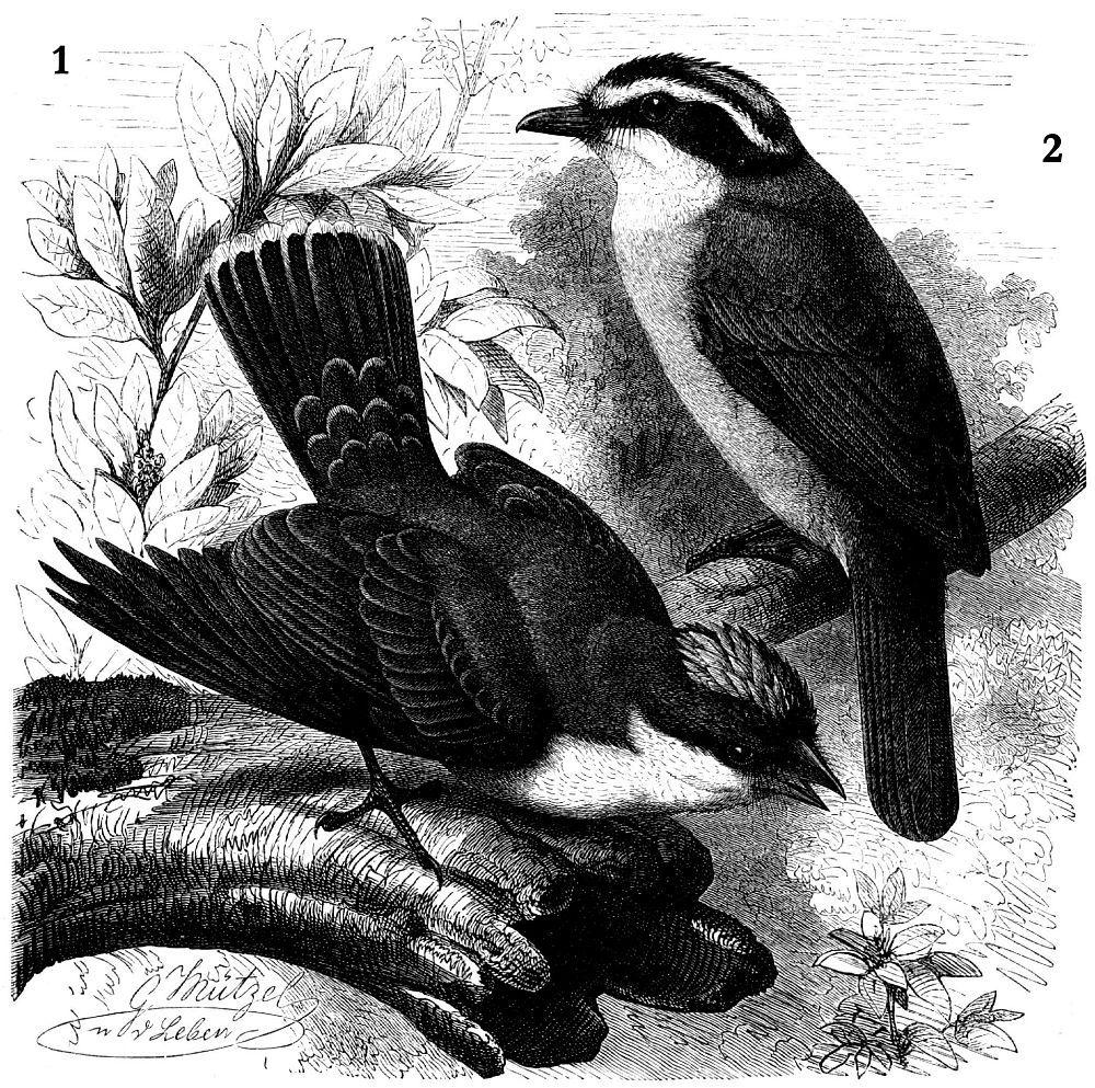 1 — Каролинский тиранн (Tyranmis tyrannus) 2- Большой кискад, или бентеви (Pitangus sulphuratus)