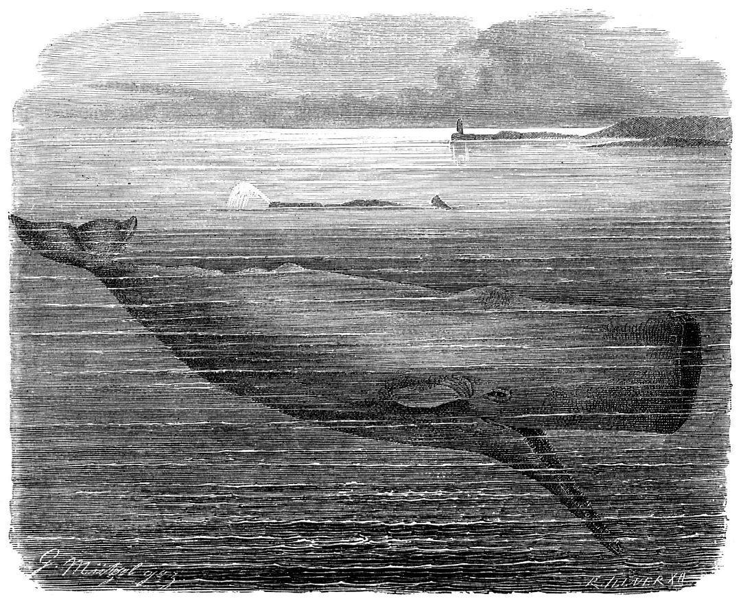 Кашалот (Physeter catodon)