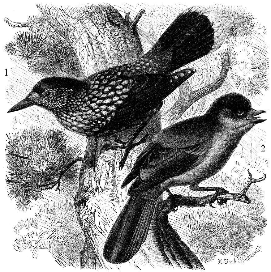 1 - Кедровка (Nucifraga caryocatactes) 2 - Кукшка (Perisoreus ifaustus)